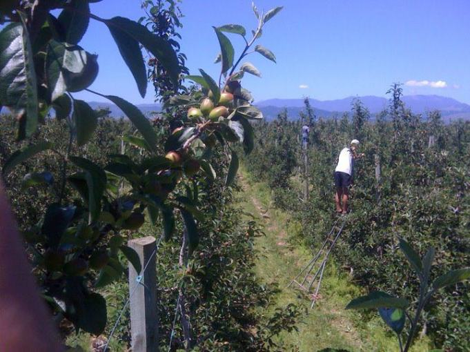 apple-thinning-1