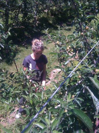 apple-thinning-2
