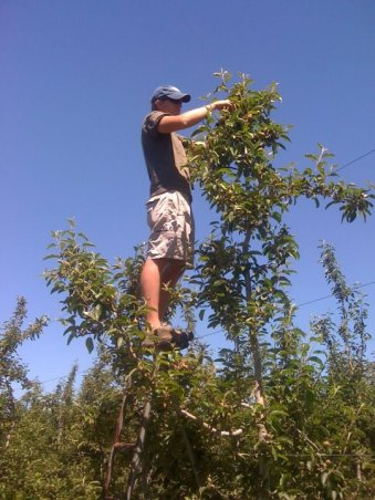 apple-thinning-4
